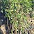 Jual Bibit Pohon Preh Harga Murah