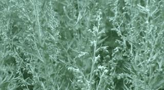 Artemisia absinthium processo produção absinto