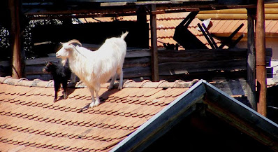 capre pe acoperis