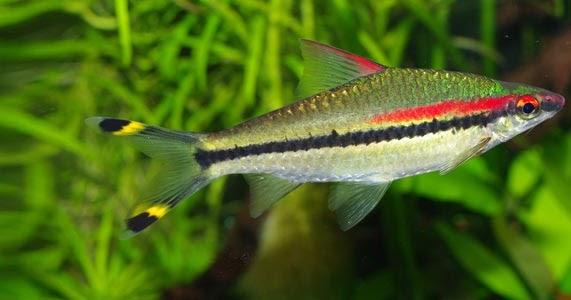 Ikan Hias Puntius Denisoni Mengenal Dan Merawatnya Lovedfish