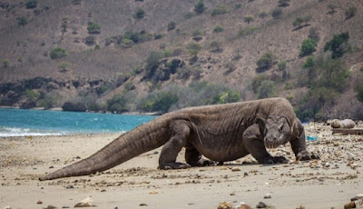 Perkembangbiakan Komodo
