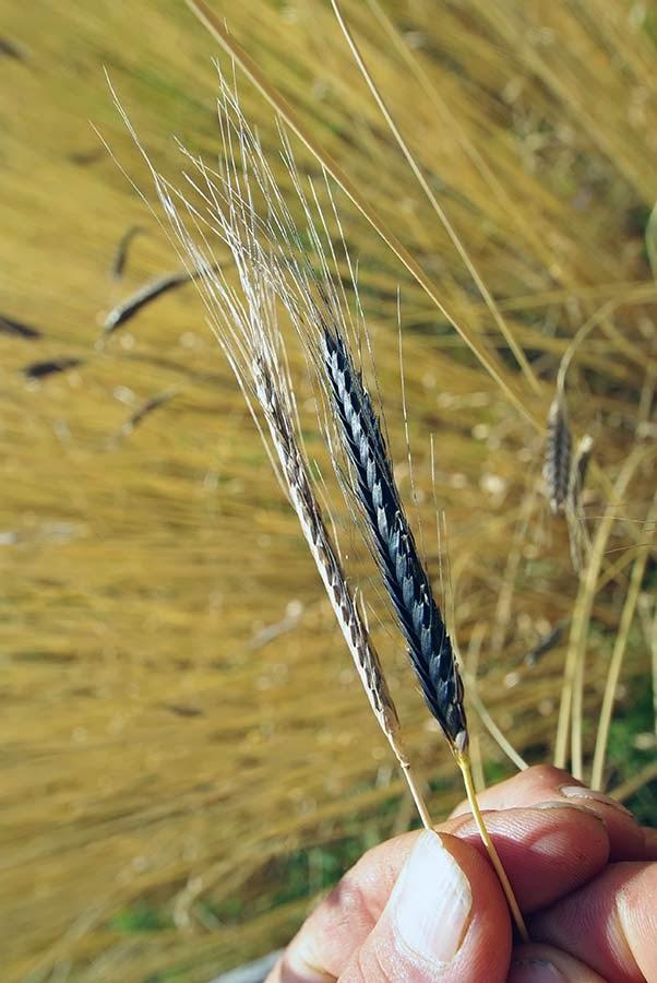 Harina de enkir, enkir, espelta, kamut, espiga, trigo ecologico