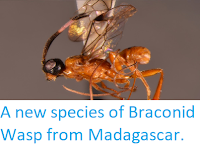 http://sciencythoughts.blogspot.co.uk/2014/07/a-new-species-of-braconid-wasp-from.html