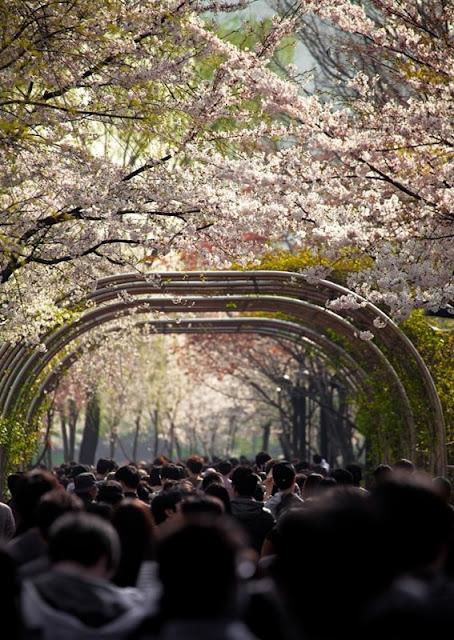 Chùm ảnh đẹp Hoa Anh Đào Nhật Bản vào tháng 02/2020 12