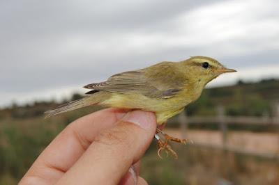 Mosquiter de passa (Phylloscopus trochilus)