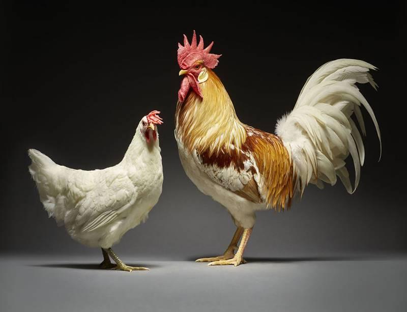 Chicken Couple Photoshoot   Photographers Celebrate Diversity In Love