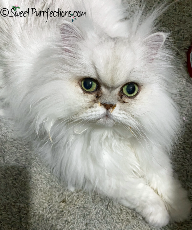 silver shaded Persian cat with eye and nasal drainage