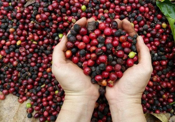 Giá cà phê hôm nay 8/7: Tăng đồng loạt 400 đồng/kg