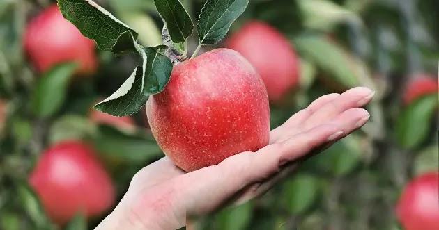 يد تقدم التفاح