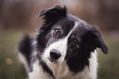 A close up photo of a black and white Border Collie. The dog has deep brown eyes, is tilting its head and has some white on its face indicating it may be an older dog.