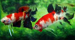 Jenis Ikan Hias Air Tawar Yang Mudah Dipelihara