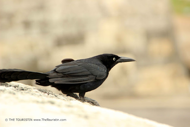 A Maria Mulata on a city wall. The black bird Quiscalus Mexicanus is the symbol of Cartagena