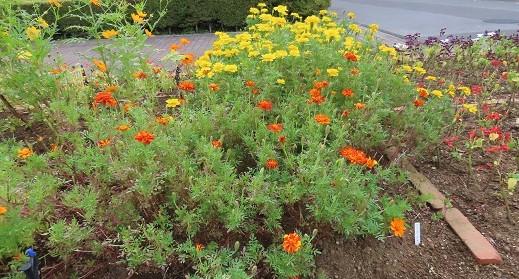 キバナコスモスとマリーゴールドの咲く花壇