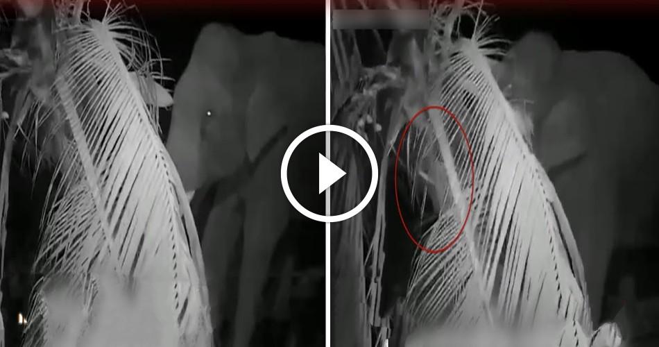 தென்னை மரங்களை வெறிகொண்டு சாய்த்த காட்டு யானை ! மிரளவைக்கும் CCTV வீடியோ !!