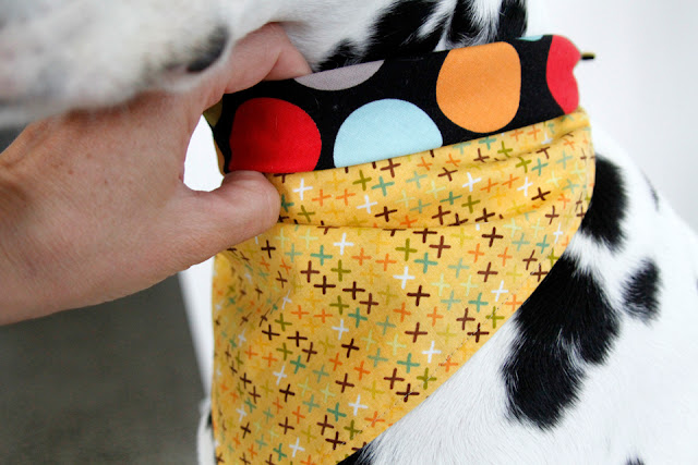 Demonstrating how to tie a visible roll-over bandana on the neck of a Dalmatian dog