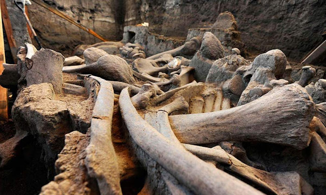 The position of the bones suggests to scientists that the mammoth may have been partially cut up by a human group.