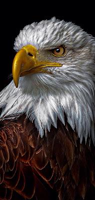 اجمل صور نسور و صقور في عالم, النسر Eagle