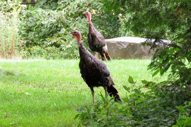 Things to do in Maine in the summer: Turkeys at Maine Audobon's Gilsland Farm near Portland