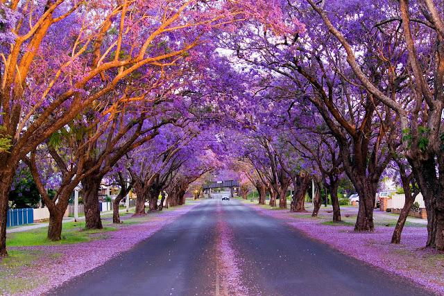 Đầu tháng 11 là thời điểm những hàng cây phượng tím trên đường McDougall ở ngoại ô Kirribilli (Sydney) nở rộ nhất. Bạn có thể dễ dàng đến con đường đẹp như mơ này bằng cách đi tàu đến ga Milsons Point hoặc đi phà đến bến Kirribilli.