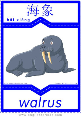 Walrus - English-Chinese flashcards for wild animals topic