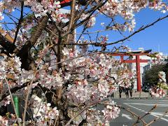 若宮大路の玉縄桜