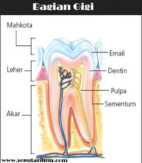 Pengertian, 3 Bagian, Jenis, dan Fungsi Gigi Menurut Para Ahli Gigi Secara Lengkap