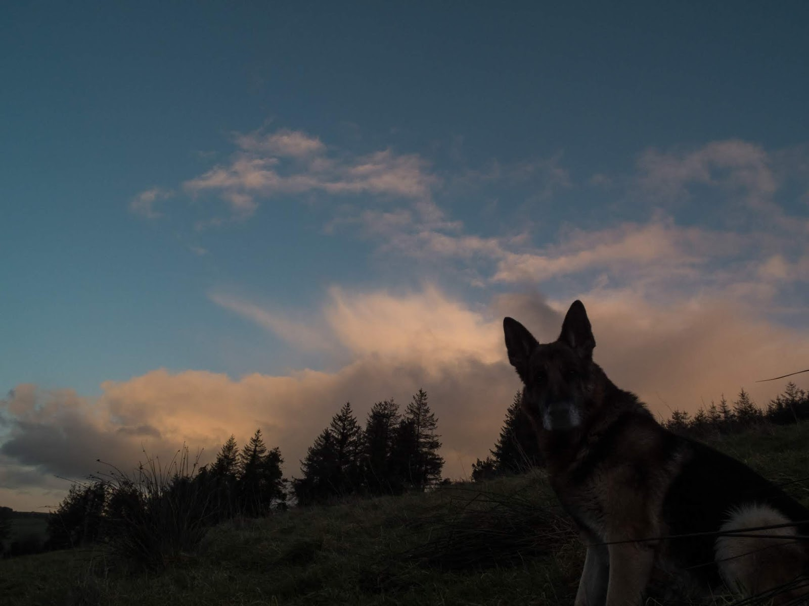 A German Shepherd sitting on a hillside at sunset.