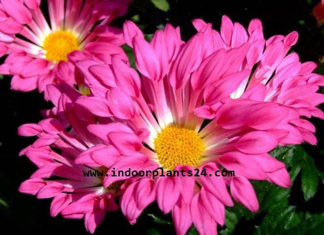 (Chrysanthemum Morifolium) Indoor Plant
