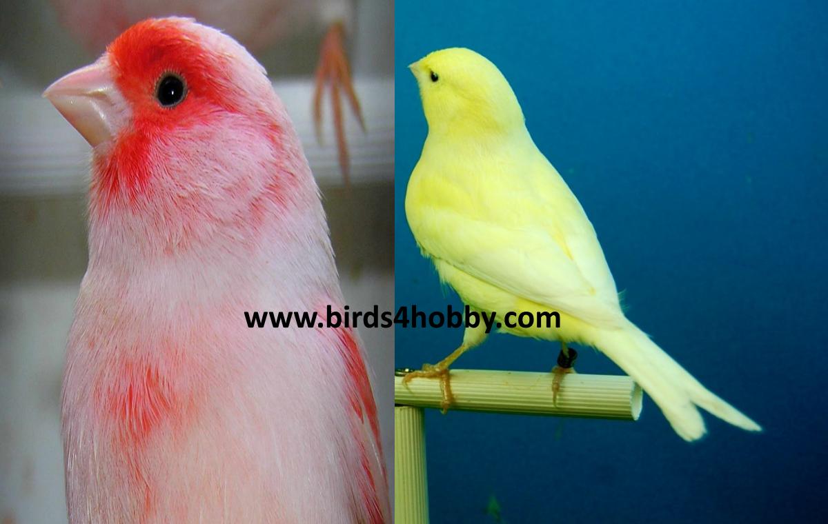 طيور الكناري تلوين طبيعي .تغير لون الكناري .طريقة تغير لون الكناري .