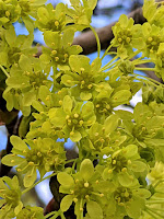 A photo of small yellow flowers blooming on a tree branch.