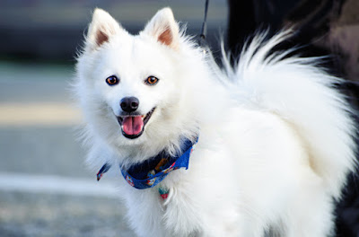 Happy Japanese Spitz Dog