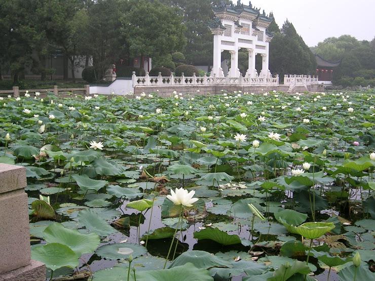 上海の蓮池