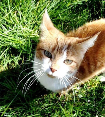 The Writer's Pet: Jenni Keer's ginger cat Molly on the lawn. Interview about Keer's latest book & how her cats influence her writing.