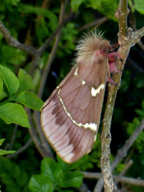 Paradirphia leoni female