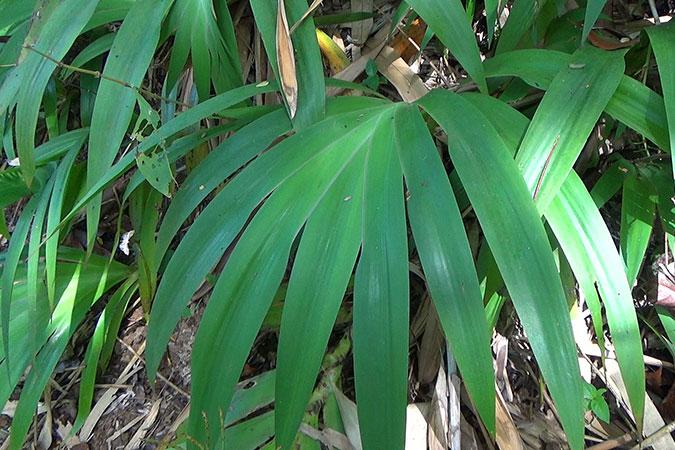 Dlium Tampis (Xiphidium caeruleum)