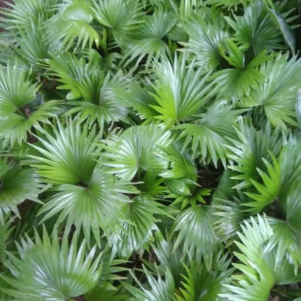 bibit tanaman hias palem bintang pohon palem Palopo