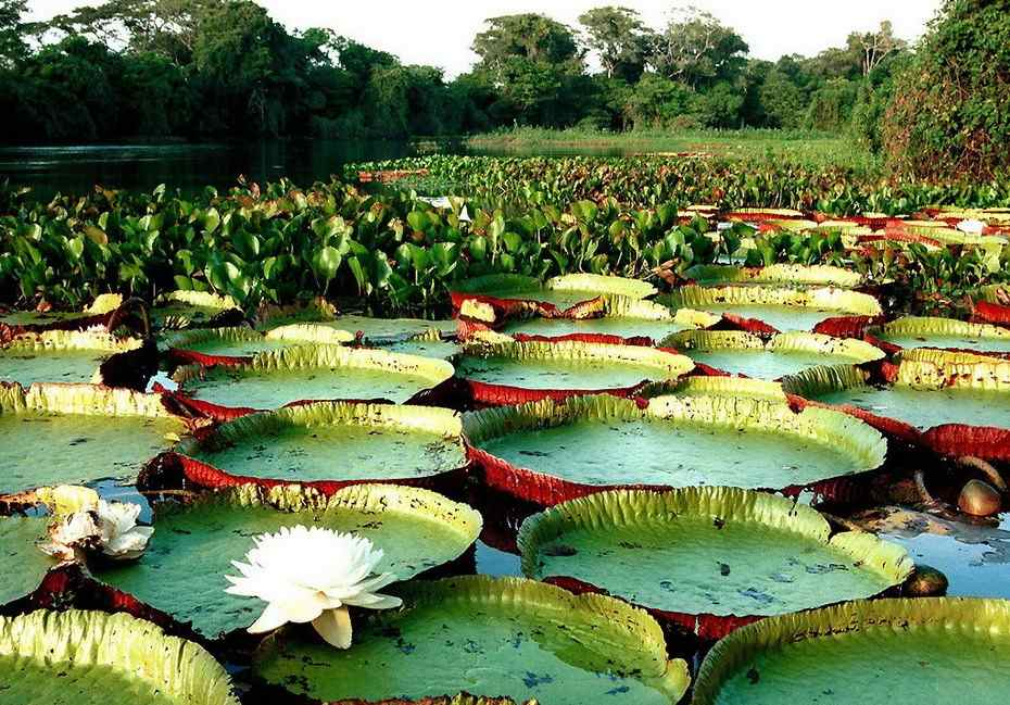 http://1.bp.blogspot.com/-Zwzi2eMBe3Y/UgXEhKiRRNI/AAAAAAAAAB0/Gciq3uj9B_w/s1600/Amazon-Water-Lily-3.jpg Giant Amazon Water Lily