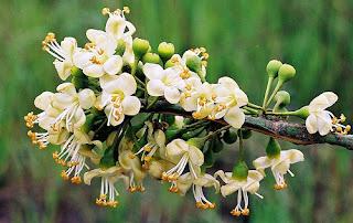 bunga randu pakan lebah pati jawa tengah