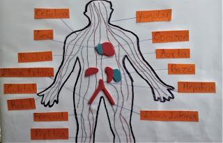 como hacer un sistema circulatorio facil
