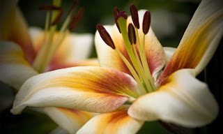 Lilium - Lilies HD wallpapers