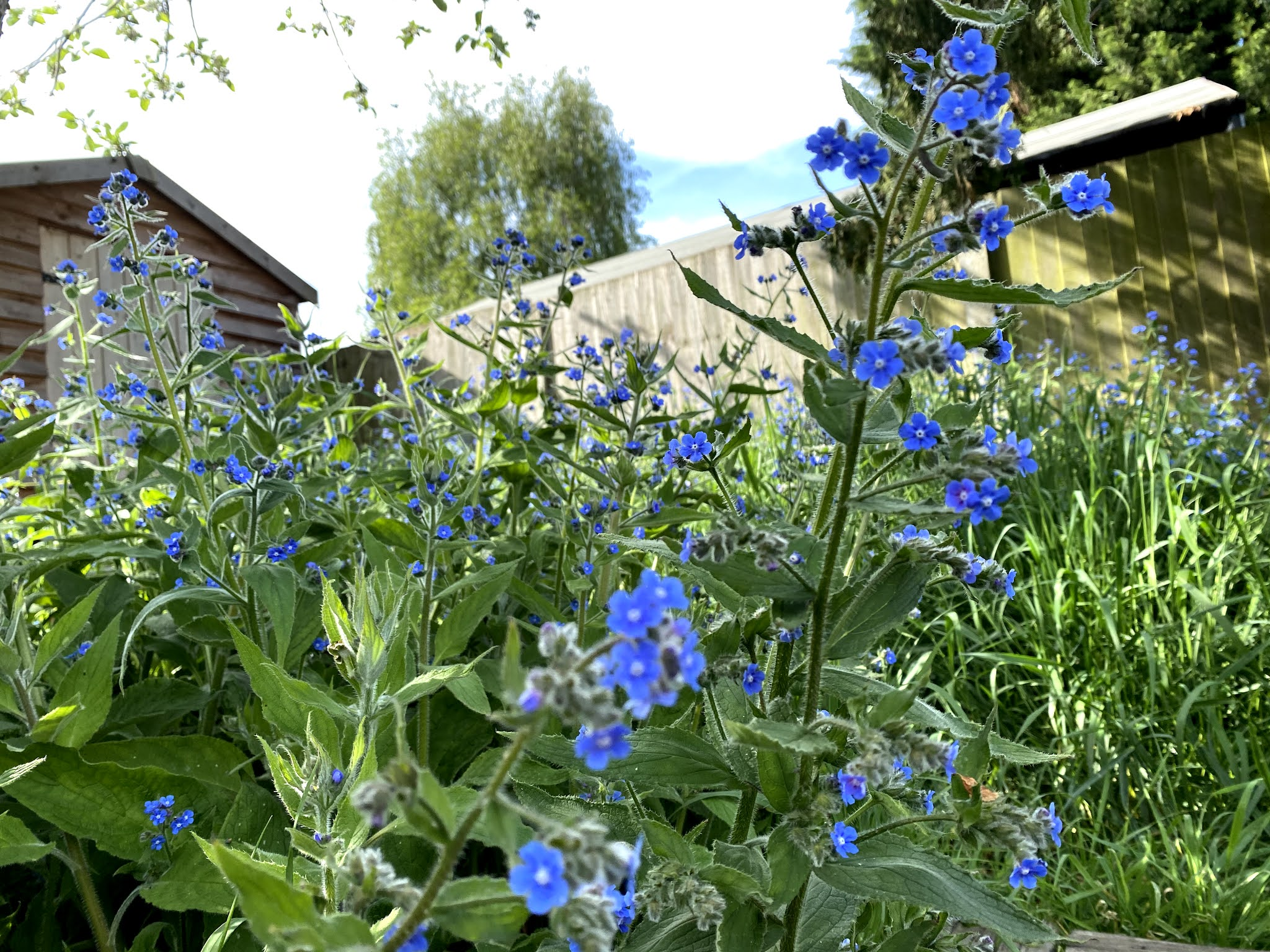 Close up view of blue wildflowers growing in a garden