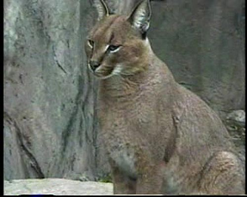 A caracal at Toronto Zoo.