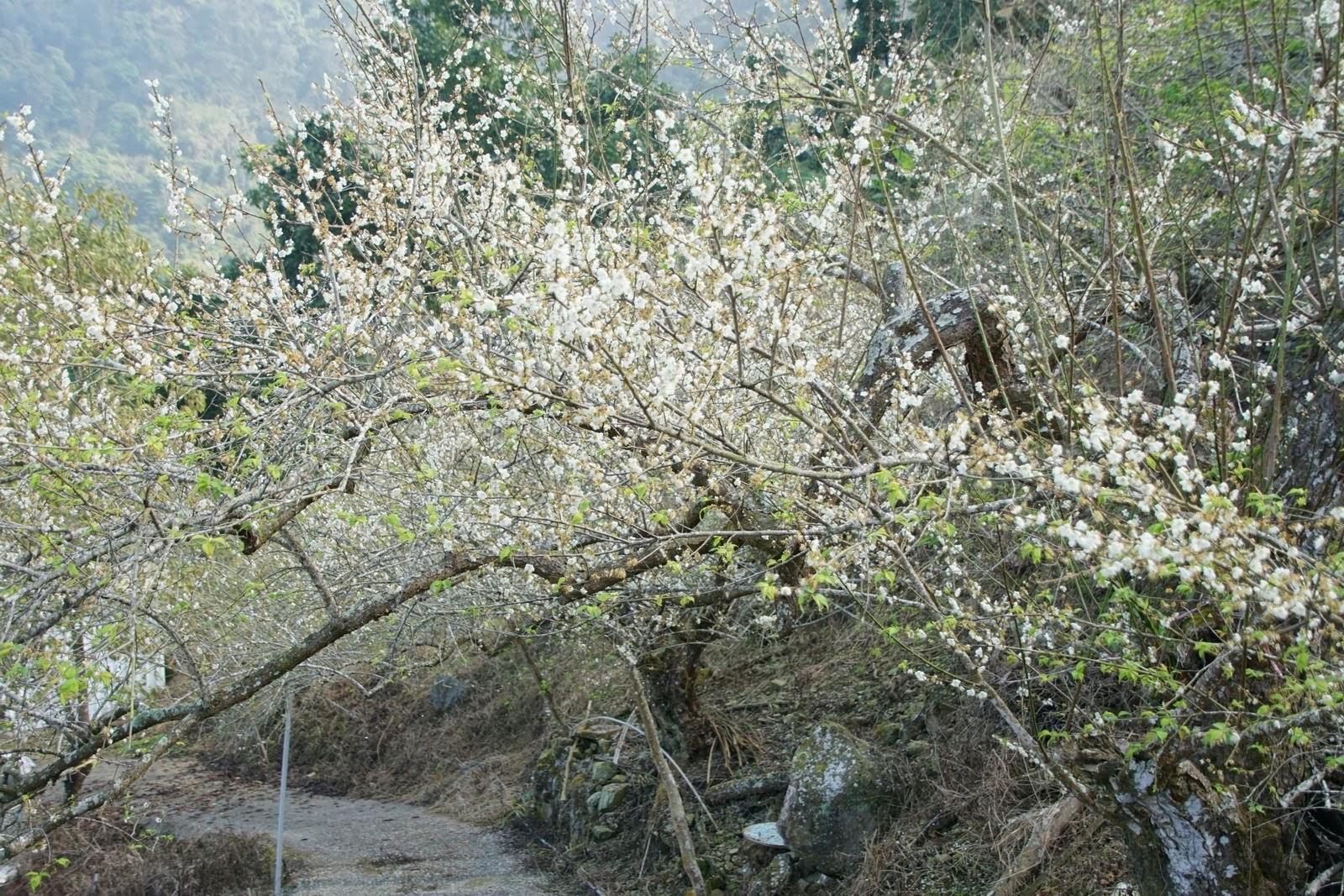 [台南][楠西區] 2020己亥年末|梅嶺弄梅-暖冬的步道健行|遊記