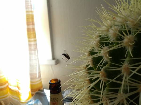 This is a fly stuck in the cactus spine.