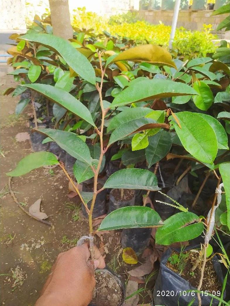 Bibit durian musangking Padang