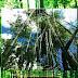 Tanaman Bambu (Bambu sp.) Tumbuhan Batang Berumpun Golongan Rerumputan Raksasa