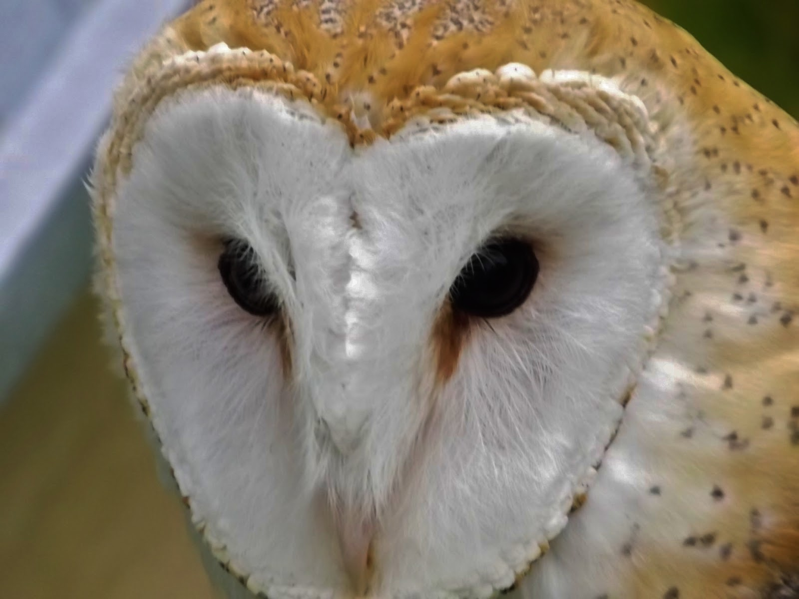 Wilbur The Barn Owl Interesting Facts