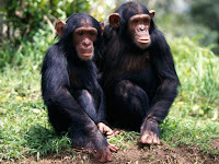 Ape Animal Pictures