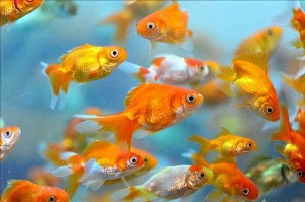 Japon balıkları ve japon balığı akvaryumu
