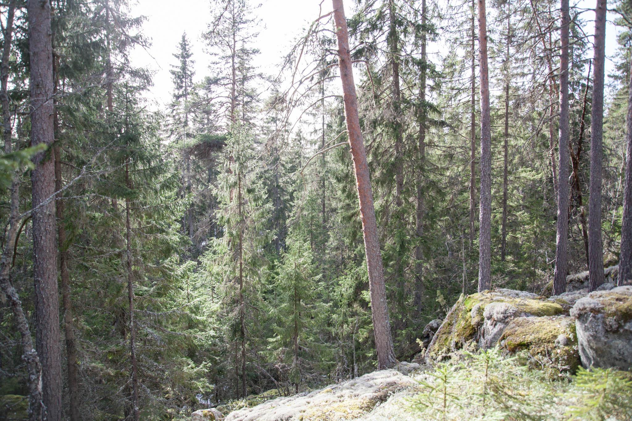 metsä Isojärvi kansallispuisto
